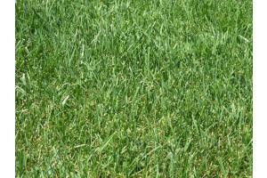 Prato-tappeto erboso con Festuca arundinacea
