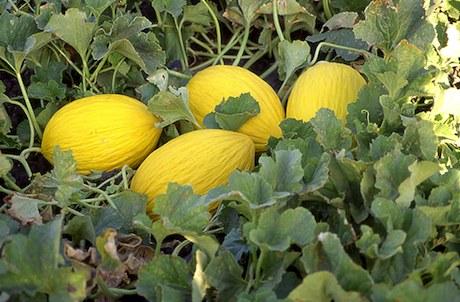 Guida alla coltivazione del melone for Pianta di melone