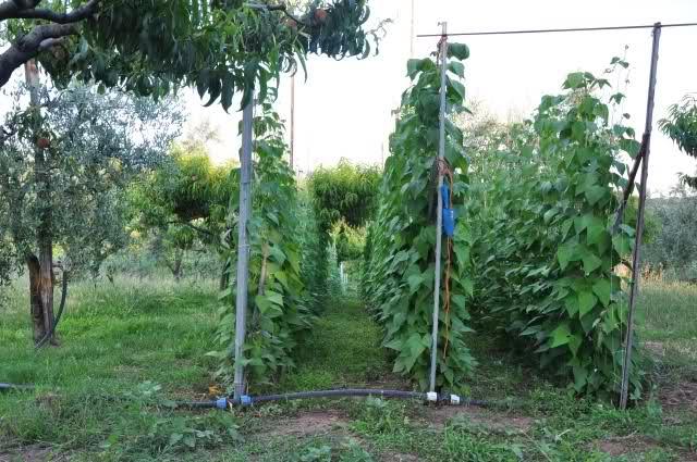 Coltiviamo il fagiolo for Piantare piselli